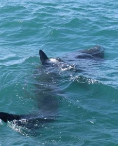 Basking sharks spotted off Cornwall for first time in season